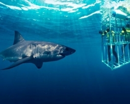 Shark Cage Diving at The Kosher Safari